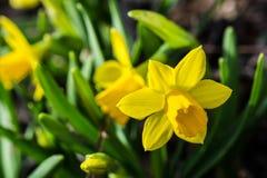 Primi fiori della sorgente Fotografie Stock Libere da Diritti