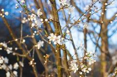 Primi fiori della sorgente Immagine Stock Libera da Diritti
