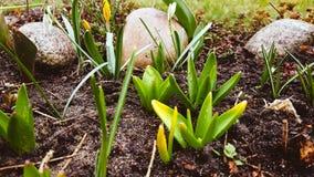 Primi fiori della sorgente Fotografia Stock Libera da Diritti