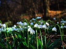 Primi fiori della sorgente Fiori di bucaneve su un fondo della a Fotografie Stock Libere da Diritti