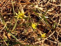 Primi fiori della sorgente yellow Immagini Stock Libere da Diritti