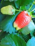 Primi frutti della molla Fotografia Stock Libera da Diritti