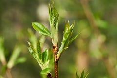 Primi germogli e foglia verdi della molla Immagine Stock Libera da Diritti