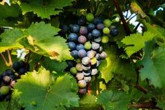 Primi piani dell'uva in una vigna Fotografia Stock