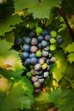 Primi piani dell'uva in una vigna Immagini Stock Libere da Diritti