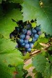 Primi piani dell'uva in una vigna Fotografie Stock