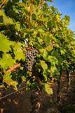Primi piani dell'uva in una vigna Immagine Stock