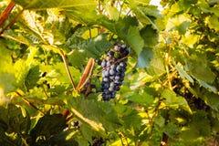 Primi piani dell'uva in una vigna Immagini Stock