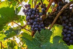 Primi piani dell'uva in una vigna Fotografie Stock Libere da Diritti