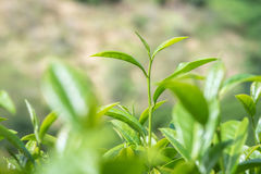 Primi piani delle foglie di tè fresche Fotografia Stock Libera da Diritti