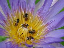 Primi piani immagine, loto ed insetto Immagini Stock