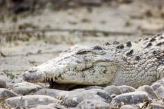 Primi piani pericolosi dell'alligatore e del coccodrillo Fotografia Stock Libera da Diritti