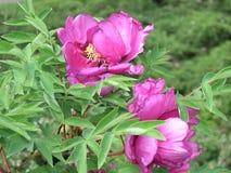 Primi piani rosa delle peonie Fotografia Stock Libera da Diritti