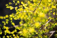 Primi verdi della sorgente fotografia stock