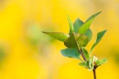 Primi verdi su fondo giallo Immagine Stock