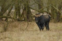 Primigenius animal de Bos d'Aurochs Photo stock