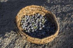 Primitive basket of California juniper berries royalty free stock photo
