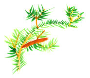 Primitive children's drawing -  fur-tree branch Stock Photos