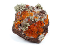 Primitive life. On volcanic rock Stock Photos