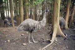 A primitive-looking emu bird. An emu bird standing in a forest, very primitive setting Stock Photos