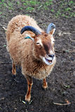 Primitive Soay Breed. A photograph of a Soay Sheep, a rare, primitive breed of domestic sheep, descended from a population of feral sheep on the 250-acre island Stock Photography