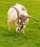 Primitivo britannico della grande barba dei corni della razza della capra Fotografia Stock Libera da Diritti