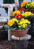 Primla springtime plants Stock Photo