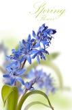 Primo bianco del ower del fiore della molla del blu delicato Fotografia Stock