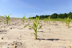 Primo cereale germogliato Fotografia Stock