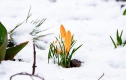 Primo fiore del croco Immagini Stock