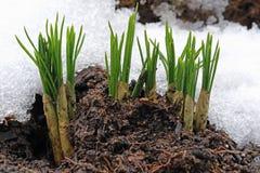 Primo fiore dopo l'inverno, croco della molla nella neve fotografia stock libera da diritti
