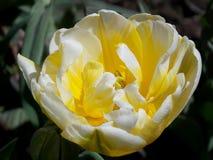 Primo germoglio giallo del tulipano Fotografia Stock Libera da Diritti