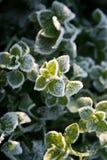 Primo hoarfrost su un'erba verde Fotografia Stock