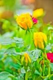 Primo mattino giallo del fiore della Rosa di bellezza Fotografia Stock