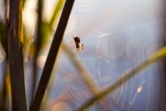 Primo mattino, macro caccia del ragno di alba al fiume Immagini Stock Libere da Diritti