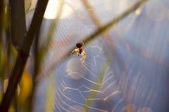 Primo mattino, macro caccia del ragno di alba al fiume Fotografia Stock