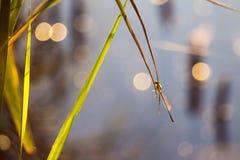 Primo mattino, macro libellula di alba al fiume Immagine Stock Libera da Diritti