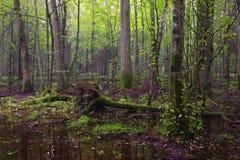 Primo mattino nel supporto deciduo della foresta di Bialowieza fotografie stock libere da diritti