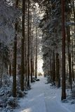 Primo mattino nell'abetaia di inverno immagine stock