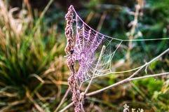 Primo mattino nella foresta la ragnatela è coperta di gelo B Immagini Stock