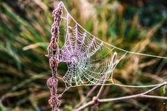 Primo mattino nella foresta la ragnatela è coperta di gelo B Immagine Stock