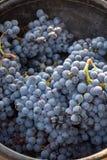 Primo nuovo raccolto dell'acino d'uva nero in Provenza, Francia, pronta per in primo luogo la pressatura, festival tradizionale i fotografia stock libera da diritti