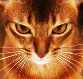 Primo piano abissino del gatto Fotografia Stock Libera da Diritti