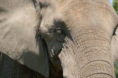 primo piano africano capo 1 dell'elefante immagine stock