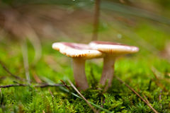 Primo piano all'aperto di autunno del fungo di Brown macro fotografia stock libera da diritti