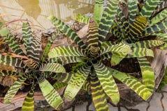 Primo piano alla bella BROMELIACEAE di Aechmea Fasciata/della pianta dell'urna della zebra Bromeliad/Livingvase/ Fotografia Stock