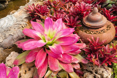 Primo piano alla bella BROMELIACEAE di Aechmea Fasciata/della pianta dell'urna di Bromeliad/Livingvase/ Immagini Stock