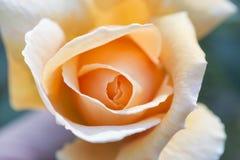 Primo piano alle rose Immagini Stock Libere da Diritti