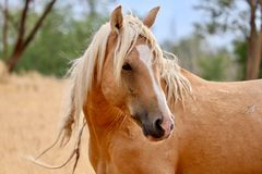 Primo piano americano del cavallo selvaggio del mustang dello stallone selvaggio del palomino Fotografie Stock