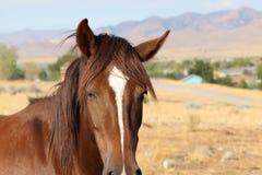 Primo piano americano selvaggio di colpo in testa del cavallo del mustang Immagine Stock Libera da Diritti